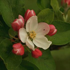 Včerejší jablko
