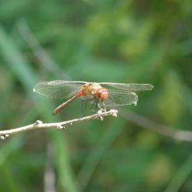 Vážka na větvi