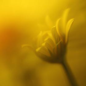 Žlutá mlha