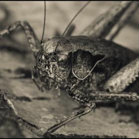 Platycleis Albopunctata ... Kobylka Obecna