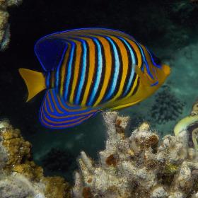 krásy Rudého moře( Pomec královský)