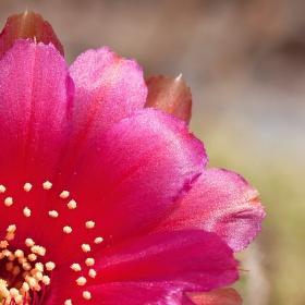 Krása kaktusu