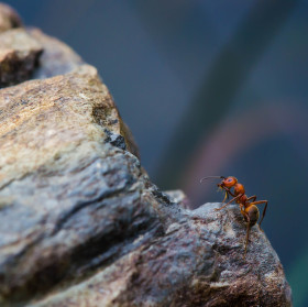 Mravenec na skále