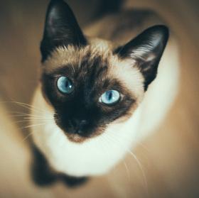 Modroočko krásnoočko