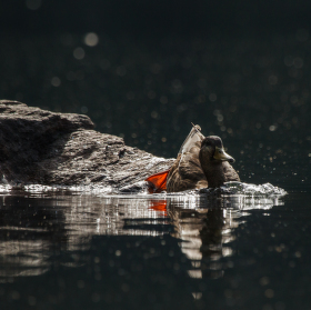 ..temná kachna divoká.. :)