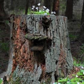 Lesní muž...