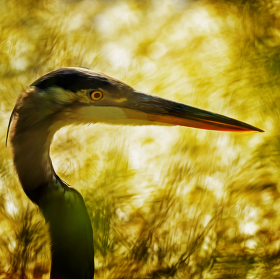 Great Blue Heron - Volavka velká  (Ardea herodias) effect painting