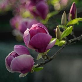 Ružový vodopád