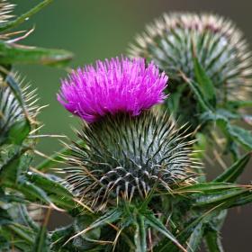 Skotski narodny kvet