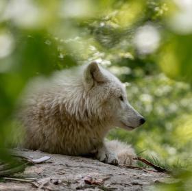 Ospalý vlk