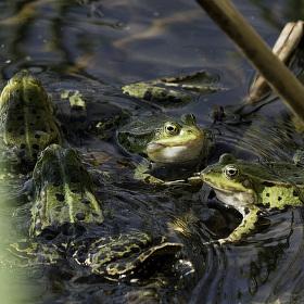 Žabí klepny.