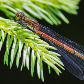 Šidélko ruměnné (Pyrrhosoma nymphula)