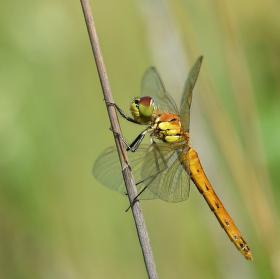 Vážka rumělková - samička