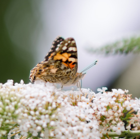 motýl na komuli
