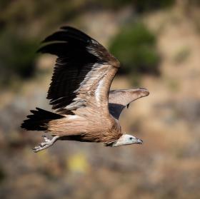 Sup bělohlavý (Gyps fulvus) za letu