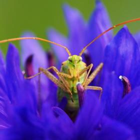 Zelený brouk na fialové chrpě