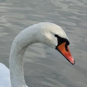 Labuťák