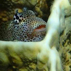 Slizoun leopardí
