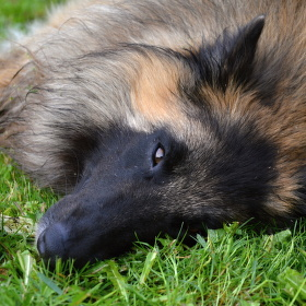 Belgický ovčák- Tervueren