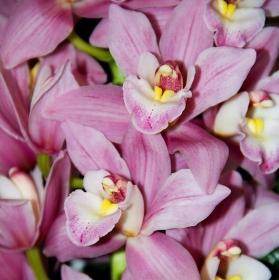 orchidea - cimbidium