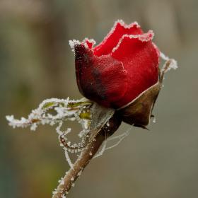 zmrzlá růže