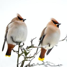 Vzávní hosté z dalekého severu