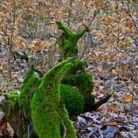 klokan lesní