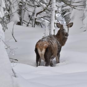 Jelen v zimě