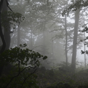 Mlhový les.