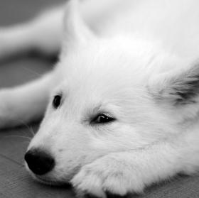 Ospalý