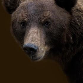 Medvěd kamčatský - zoo Brno