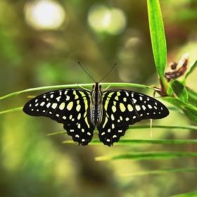 Zelený motýl