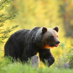 medvěd hnědý při západu slunce-WILD