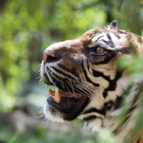 Tygr sumaterský ve svém království