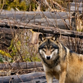 Vlk ze Srní