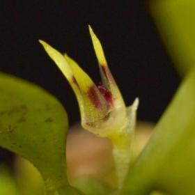 Bulbophyllum depressum