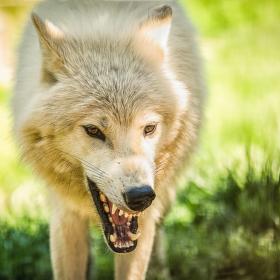 Vlk Hudsonův