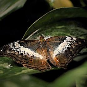 Motýlí dotek