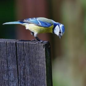 Na plotě - zvědavá