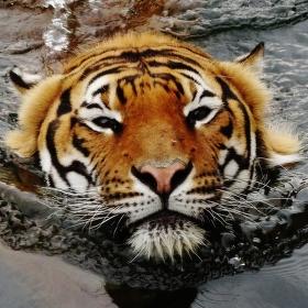 Tygr - ohrožený druh