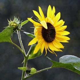Slunečnice v odpoledním sluníčku...