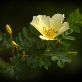 Žlutá růže 1