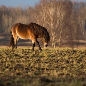 exmoorský ponny II