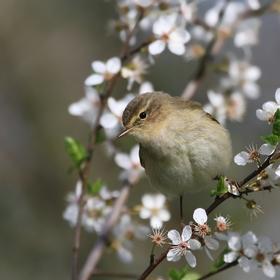 Jaro se blíží - budníček menší