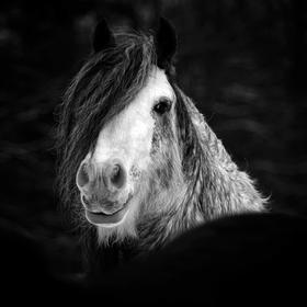 Plemenný hřebec