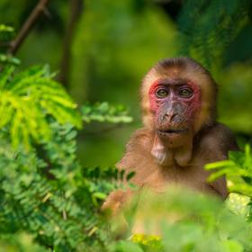 Makak medvědí v deštném pralese