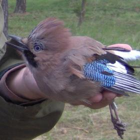 Kroužkování ptáků