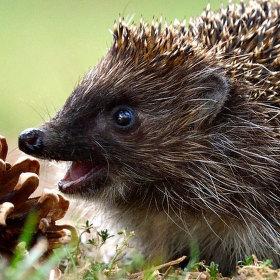 vysmátej ježek