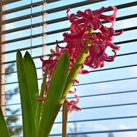 Rozkvetlý hyacint na okenním parapetu .