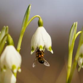 Jarní Bledule se včelou...